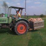 Raccolta delle zucche sul campo