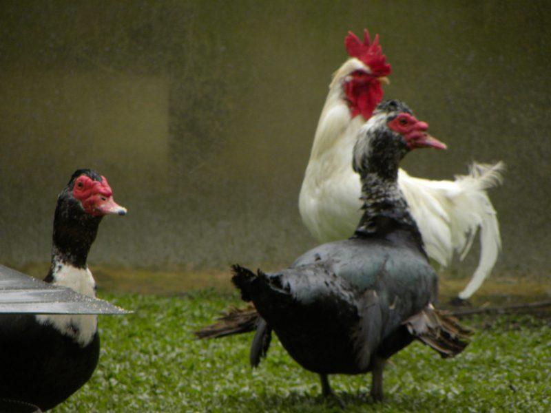 il pollaio del Cucco