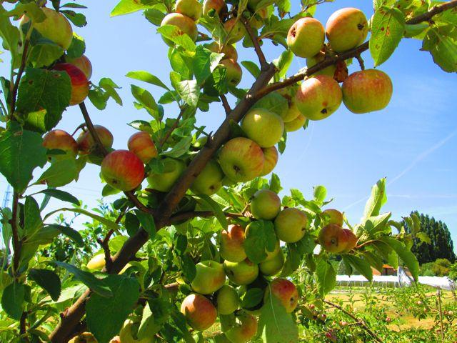 mele del Cucco